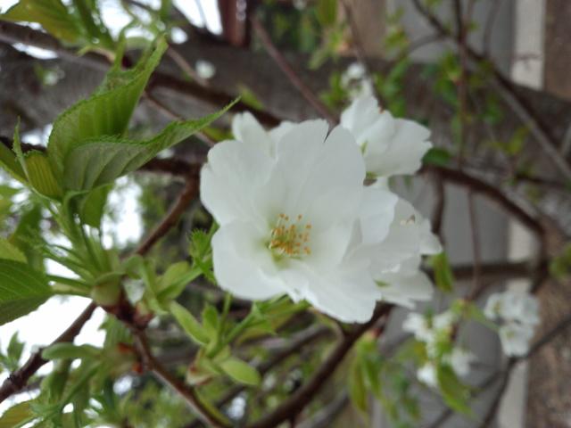 フリージアと桜